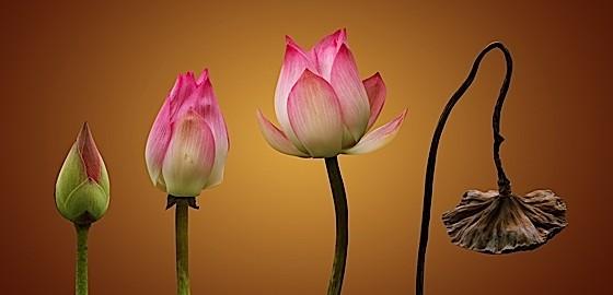 wilting lotus
